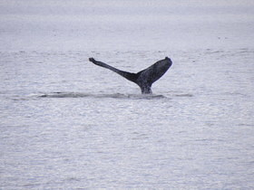 Juneau - Whale watching